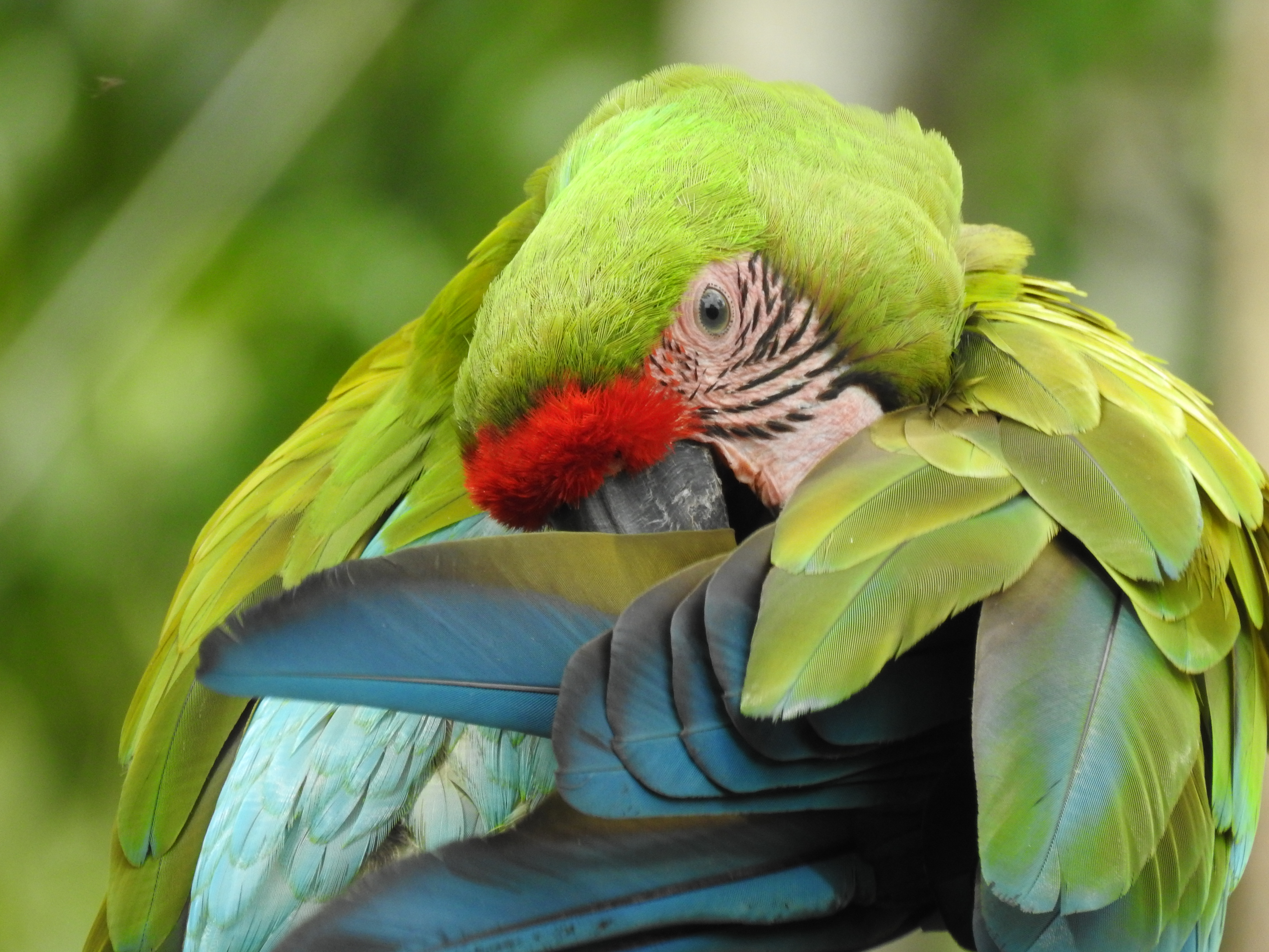 Six Great Green Macaws were released in Ayampe