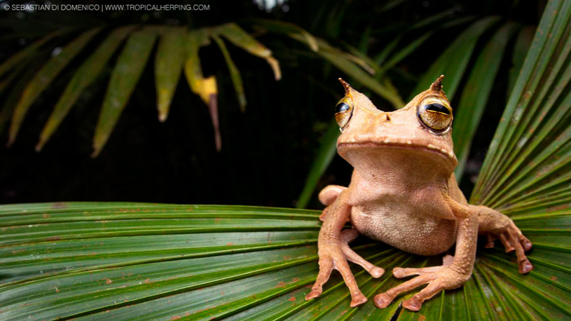 The horned marsupial frog
