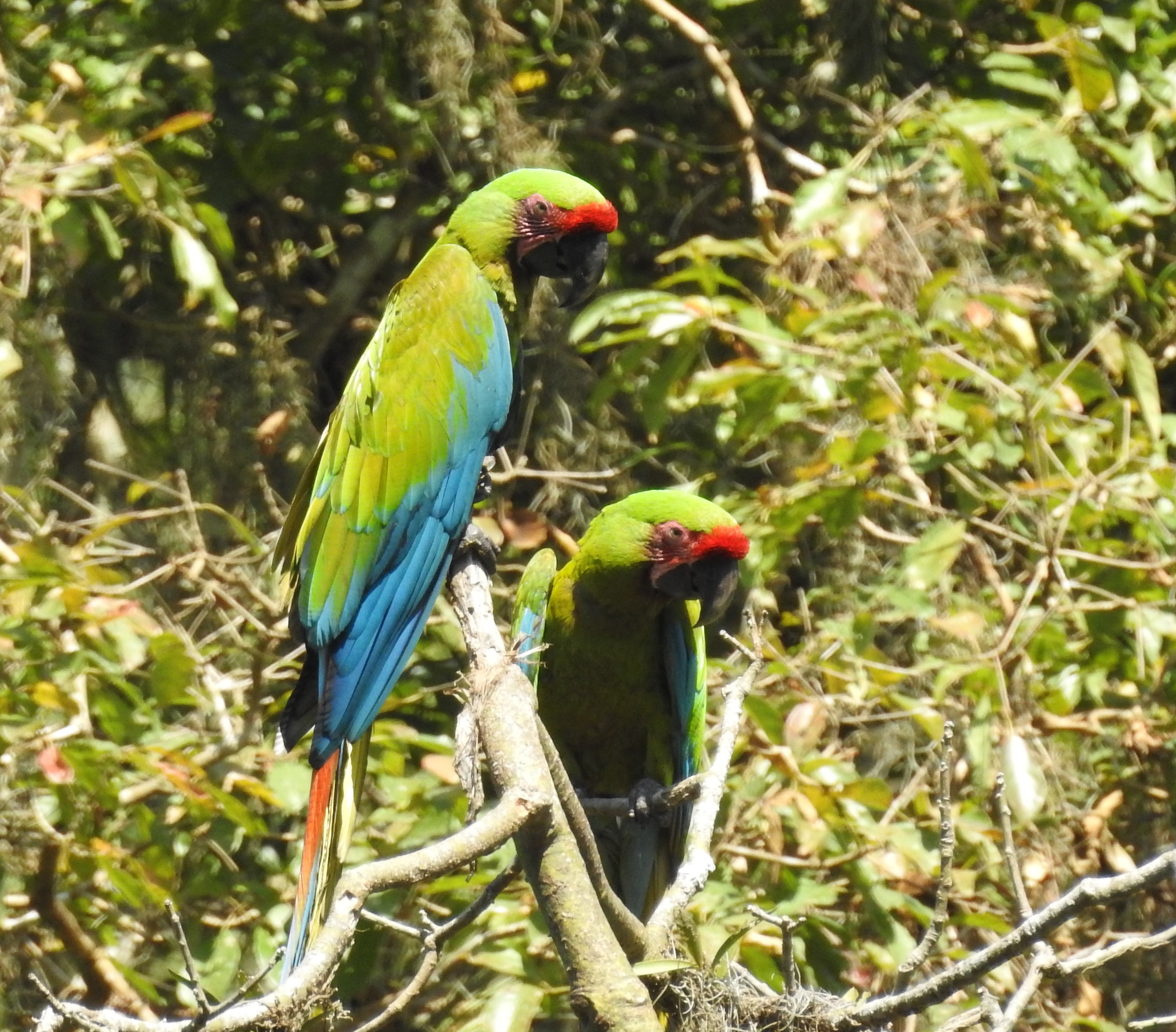 Great news for the Great Green Macaw!