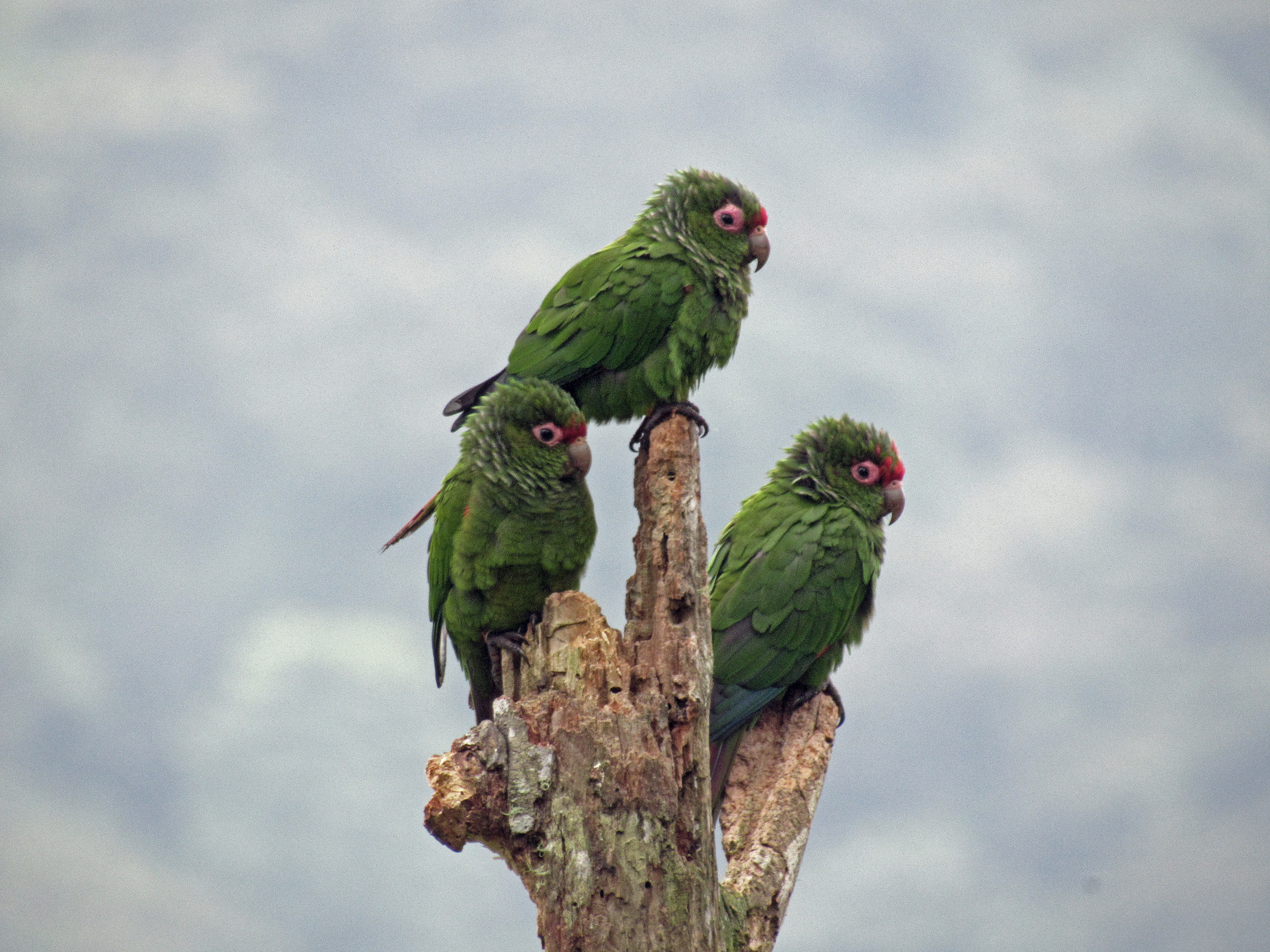 This year 114 El Oro Parakeets fledged!